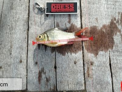 ปลาตะเพียนทอง